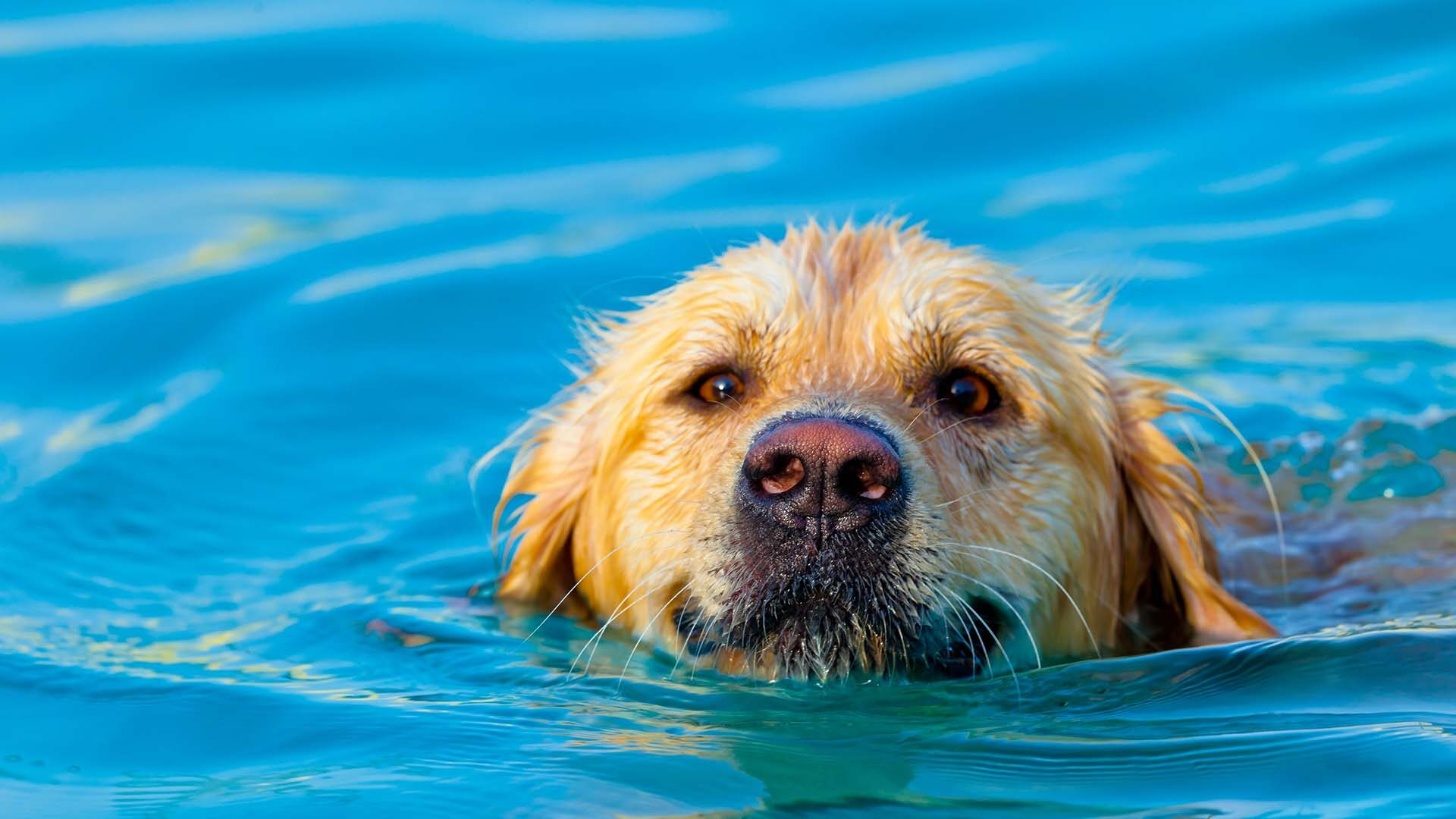 Golden Retriever swimming in pool.
