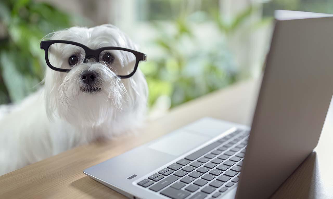 White dog wearing glasses at laptop computer.