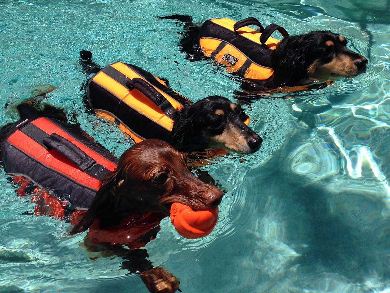 Three dogs in swimming pool wearing life jackets.